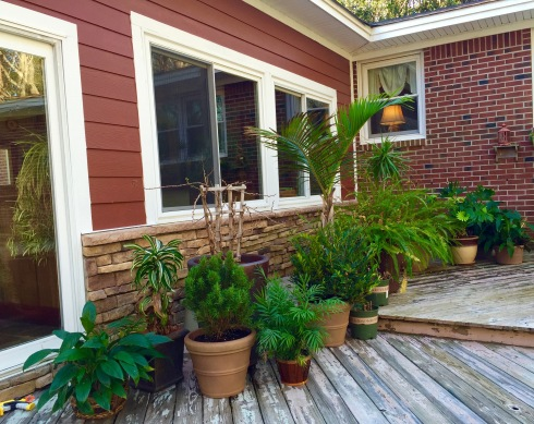 Moved lots of our houseplants outside this weekend!